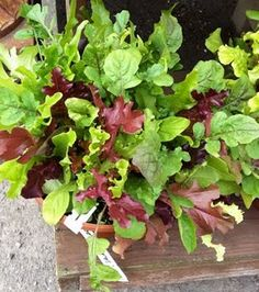 grow your own salad (i did this last year!)