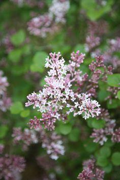 Buy Korean Lilac Syringa meyeri 'Palibin': Delivery by Crocus.co.uk
