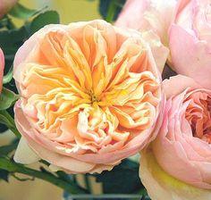 Rose Garden juilet peach