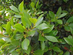 Cool Plants, Live Plants, Osmanthus Fragrans, Loquat Tree, Laurus Nobilis, Cast Iron Plant, Plant Magic, Succulents In Containers, Organic Herbs