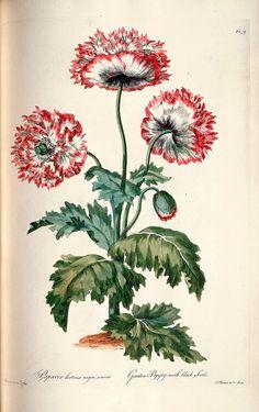 Garden Poppy with black seeds - by John Edwards (1769)
