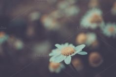 daisy by ApertureVintage on Creative Market