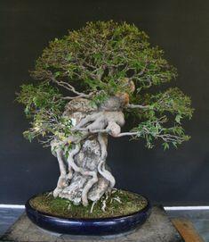 Bonsai Plants, Bonsai Garden, Bonsai Tree Care, Bonsai Styles, Fire Pit Designs, Miniature Trees, Tropical Flowers, Ikebana, Houseplants