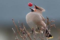 perfect timing of a bohemian waxwing Mind Blowing Pictures Taken At Perfect Timing