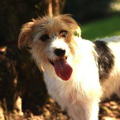 Zoe, a broken coated Jack Russell Terrier.