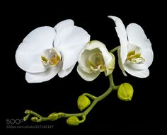 white orchid by pinarelloherbert #nature #photooftheday #amazing #picoftheday