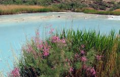 Tamarisk in bloom, at the mouth of the Little Colorado river, Grand Canyon