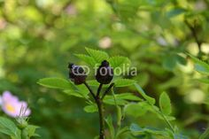dry rosehips growing among young flowers and leaves