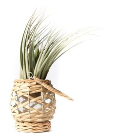 Look at this Natural Willow Lantern with Living Air Plant on #zulily today!