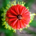 Botanical Photography Art for your Home Red Hot Poker Floral Print