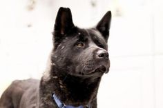 JANET is an adoptable Akita Dog in Sayreville, NJ Akita lovers, take note! Janet is a long tall cool lady looking for her Forever Home. Janet is  ... ...Read more about me on @petfinder.com