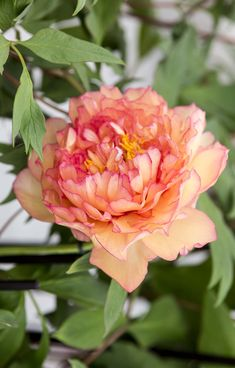 Peony 'Souvenir de Maxime Cornu': this French tree peony has large, double ruffled peach-coloured blooms. Beautiful in borders and bouquets. Discover 10 more: http://www.gardenersworld.com/plants/features/plants/10-beautiful-peonies-to-grow/5570.html