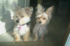 "'Our Girls"" Bella (yorkie) & Roxy (morkie aka maltese"