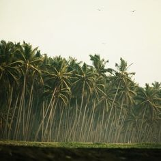 I miss seeing coconut trees everyday. <>