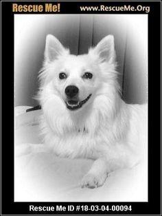 Ohio American Eskimo Dog Rescue Adoptions Rescueme Org Honden
