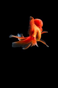 Fish Breeding, Goldfish, Photograph, Behance, Photoshop, Life, Image, Photography, Photographs