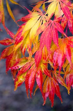 Acer palmatum 'Elegans'. 2.5m high, 2.5 wide. Autumn as pic.