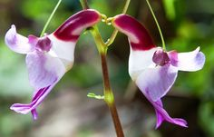"Officially known as ""Impatiens psittacina,"" this rare flower was discovered in the Shan States of Upper Burma and the seeds were presented to the Royal Gardens in 1899. No word on if it wants a cracker or not. Image: Shutterstock"