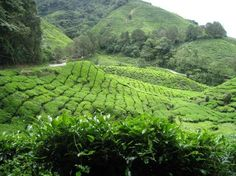Tea farm, Cameron highland#Pin By:Pinterest++ for iPad#