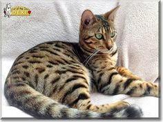 Tiger kitty:  Kelsar Dexter, the Cat of the Day