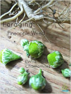 Pineapple Weed: Spring & Summer. Drying concentrates flavor for tea. Use fresh in salads as garnish.