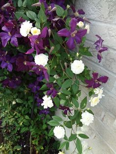Malvern Hills rose and Clematis Etoile Violette