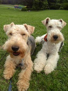 terriers. Lakeland and wire-haired if I'm not mistaken. Look a lively pair.