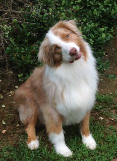 Awesome 100+ Amazing Australian Shepherds https://meowlogy.com/2017/03/28/100-amazing-australian-shepherds/ Should you be attempting to avert a dog with lots of of odor, keep away from breeds with excessive folds and floppy ears. Every dog needs to be traine...