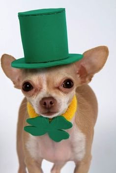 Lucky...the Canine Leprechaun!  Ha, too cute!