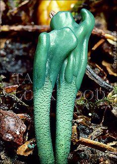 Microglossum viride  escultura decó?