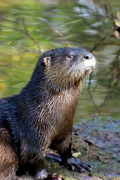 Ding Darling Amateur #Nature #Photography Contest Third-place River Otter of Jason Boeckman, Fort Myers