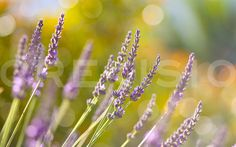 Early Lavender 1 by http://crevisio.com, #nature #macro #bokeh
