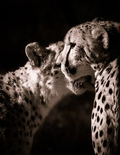 Cheetah Wall Art  Animal Photography  by PhotographySource on Etsy, $20.00