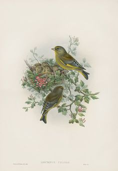 Ligurinus Chloris Greenfinch USD $795 Antique Natural History Prints of Gould Birds 1862
