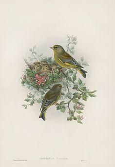 Ligurinus Chloris Greenfinch USD $795 Antique Natural History Prints of Gould Birds 1862
