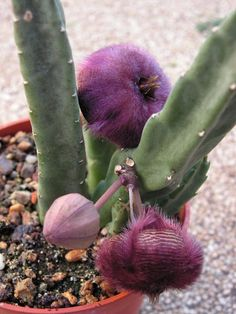 Stapelia obducta- I had a plant similar to this one. The flowers smell like rotting meat- ugh!