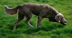The Longhair Weimaraner - Introduction, they have undocked tails