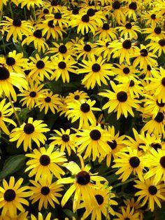 500 - Bulk Daisy Seeds - Black Eyed Susans - Perennial Wildflower - Heirloom Non-GMO by BeanAcresSeeds on Etsy https://www.etsy.com/listing/212975281/500-bulk-daisy-seeds-black-eyed-susans