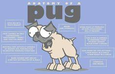 Pugs anatomy!