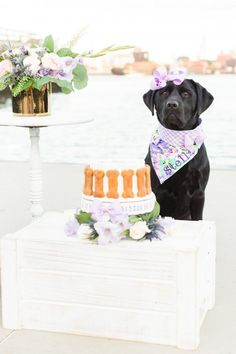 Expert tips on how to do a dog cake smash and how to capture the perfect dog birthday photos - fuss free and budget friendly. Dog Birthday Hat, Dog First Birthday, Puppy Birthday Parties, Puppy Party, Animal Birthday, Dog Birthday Quotes, Birthday Treats, Birthday Cupcakes, 1st Birthday Pictures