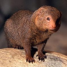 *ISRAEL~MONGOOSES: also have a tough go now.This revelation is nothing new to anyone living in the country, especially in the country's central region, where increasing development and urbanization is destroying wildlife habitats at an alarming rate. Fun Facts About Animals, Animal Facts, Mongoose Animal, Adorable Cute Animals, Led Lighting Solutions, Facts For Kids, Dwarf, Habitats, Animal Pictures