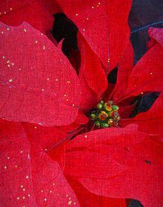A symbolic flower of the Christmas Season