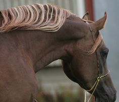 Chocolate Arabian Stallion