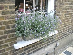 Planting lavender in window box! Im going to do this! Imagine the scent that will permeate your home when you open the window! Planting lavender in window b Window Box Plants, Window Box Flowers, Window Boxes, Flower Boxes, Window Ledge, Fresco, Planting Flowers, Planting Lavender, Growing Lavender