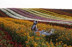 A girl sits on a stool in a buttercup plantation, near the southern town of Kiryat Gat, Israel (Reuters)