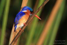 Botswana | Okavango Delta | Kingfisher #botswana #okavangodelta #birds #birdind #africanbirds #ptaki #africannature