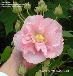 Confederate Rose, Cotton Rose (Hibiscus mutabilis)