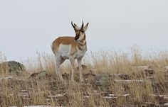 Pronghorn buck, Yellowstone National Park, Wyoming (pinned by haw-creek.com)