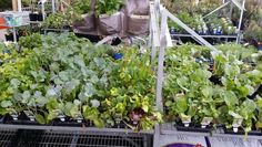 Week 6 sustainable models: people that grow their own veges are actively helping the enviroment and their own health