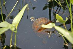 A released turtle in Burrage Pond. Greg Derr/The Patriot Ledger